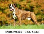 One One German Tiger Boxer Dog...