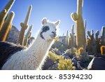 Lama In Bolivia With Cactus