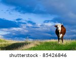A Cow Grazing In A Meadow In...