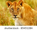 Beautiful Wild African Lioness...