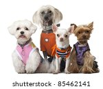 Stock photo group of dressed dogs in front of white background 85462141