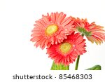 red gerbera beautiful flowers on a white background - stock photo