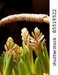a young hyacinths | Shutterstock . vector #85519522