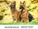 Two German Shepherd Dogs...