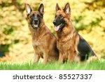 Two German Shepherd Dogs...