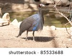 Small photo of Acryllium vultrinum is a Vulturine Guineafowl bird