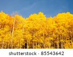Small photo of American Aspen Trees Against Blue Sky
