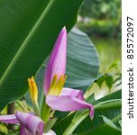 Beautiful Banana Flower Pink