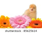 Cute Baby Chick In Colorful Mums