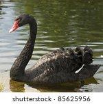 Swimming A Black Swan  Slovakia