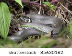 Grass Snake In Forest...