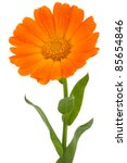 flower of calendula isolated on ... | Shutterstock . vector #85654846