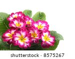 Close Ups Of Pink Primula...