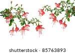 Fuchsia Flowers Over White...