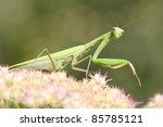 Green  Praying Mantis On Flowe...