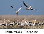 white pelican flock on shore   Shutterstock . vector #85785454