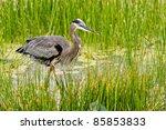 Great Blue Heron Wades In...
