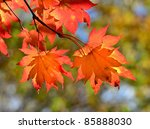Red Maple Leaves  Golden Autumn