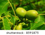 Green Walnuts Growing On A Tre...