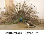 Photo Of Male Peacock Tail...