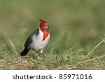 red crested cardinal  paroaria... | Shutterstock . vector #85971016