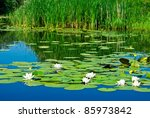 Lilies On A Water