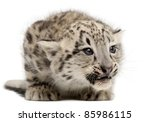 Snow Leopard  Uncia Uncia Or...