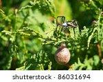 Female Garden Spider On Her Web ...