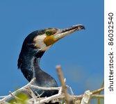 black cormorant  phalacrocorax... | Shutterstock . vector #86032540
