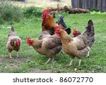 chicken and cock | Shutterstock . vector #86072770