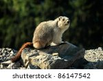 A wild yellow-bellied marmot, otherwise known as a rock chuck, sits alert on a rocky ledge in the middle of the open wilderness. - stock photo