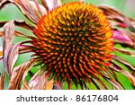 Echinacea Purpurea late summer - stock photo