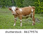 Tense and beautiful cow on the grass - stock photo