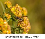 Yellow jacket wasp on a yellow flower - stock photo