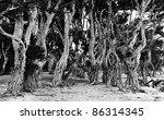 Paperbark Trees  Western...