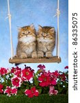Stock photo golden chinchilla kittens on garden swing with flowers 86335075