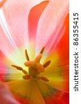 Tulip closeup - stock photo
