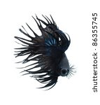 aggressive black betta fish isolated on white background - stock photo