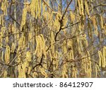 Hazel catkins at a sunny day in early spring time - stock photo