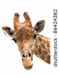 Close Up Shot Of Giraffe Head...