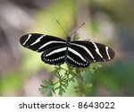 Zebra Long Wing Butterfly On A...