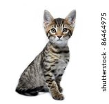 Stock photo kitten of the metis breed bengal maine coon age month 86464975