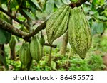 Cocoa Tree With Fruit  Bali ...
