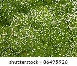 Many White Small  Flowers In...