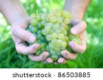 Hand Holding Fresh Bunch of Grapes In The Vineyard - stock photo