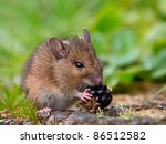 Wild wood mouse is eating a raspberry - stock photo