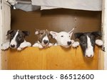 four young bull terriers | Shutterstock . vector #86512600