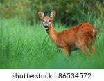 Roe Deer In Summer
