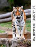 A Bengal Tiger stares at the camera - stock photo