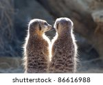 Two Meerkats In The Early...